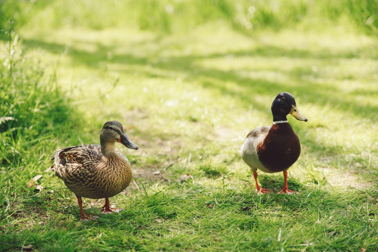 Beautiful stock photos of enten, Animal Themes, Animal Wildlife, Animals In The Wild, Bird