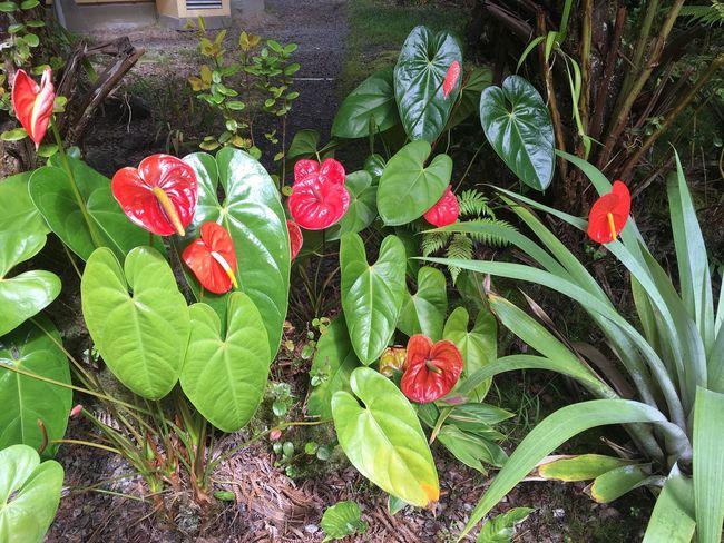 Kilauea Lodge Heart Shapes In Nature EyeEm Best Shots - Nature