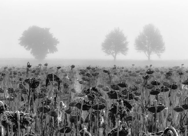 Agriculture Baum Beauty In Nature Farm Farmland Field Fog Foggy Growth Herd Landscape Nature Nebel No People Non Urban Scene Non-urban Scene Outdoors Plant Plantation Rural Scene Sky Solitude Sunflower Tranquility Tree