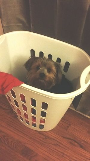 When you don't have a baby gate up Yorkieproblems Goodbabysitter