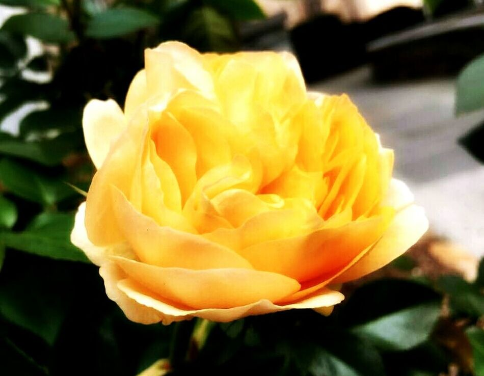 Spring... Happy Saturday EE, shine💛🍃 Yellow Flower Nature No People Fragility Growth Spring Has Arrived From Wher I Stand A Moment In Time 43 Golden Moments