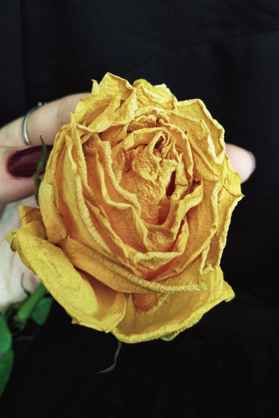 Black Background Close-up Beauty Rosé Yellow Rose Yellow Dead Flowers Dead Rose