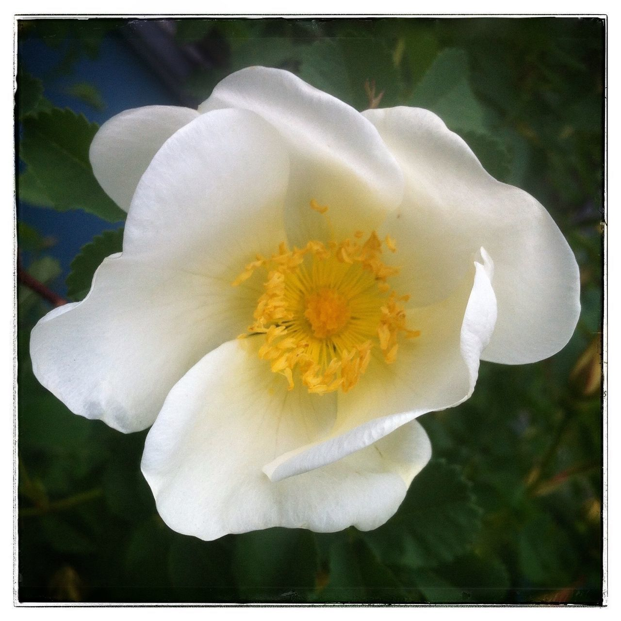 White rose. Photo Of The Day IPhone Photography Flower