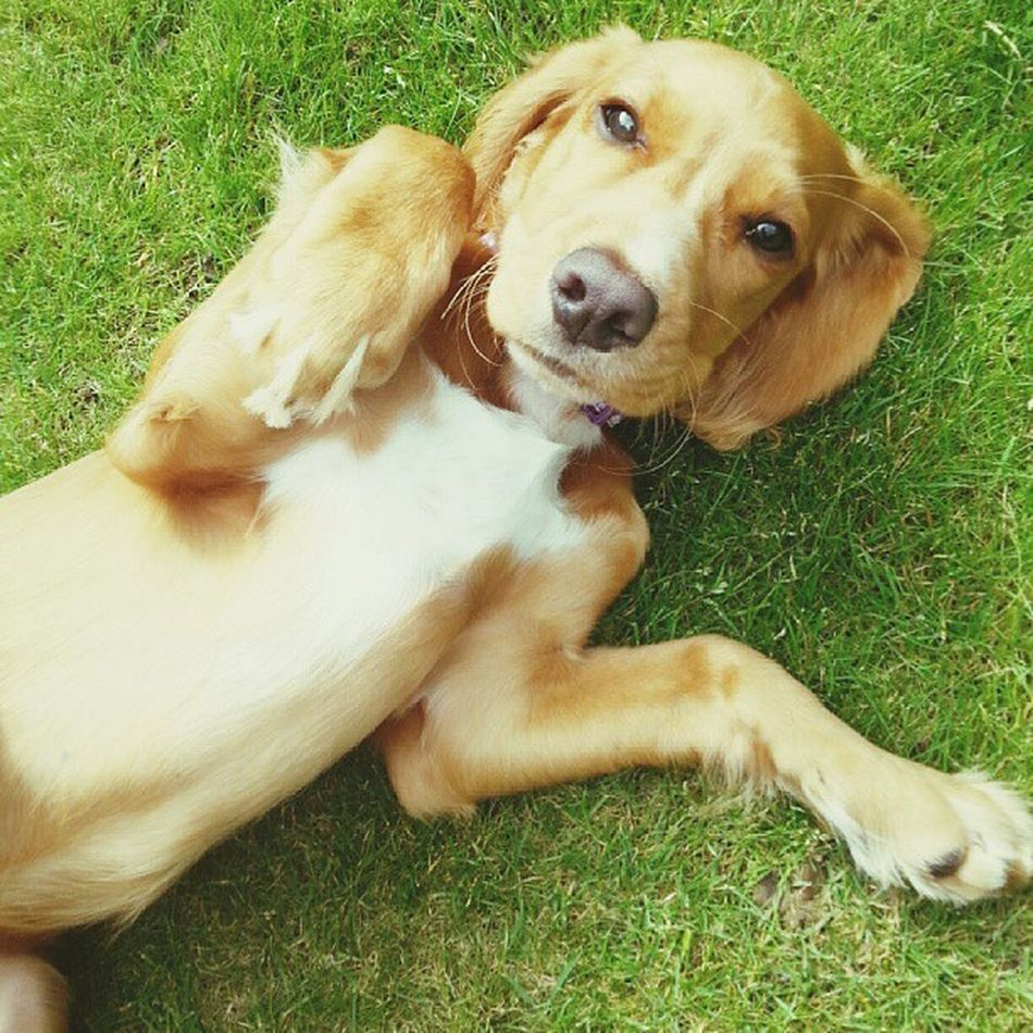 Tickle my tummy! Workingcocker Dog Cute Adorable pet pets dogsofinstagram ilovemydog dogs instagramdogs dogstagram nature animal animals puppy puppies pup petstagram picpets cutie life doggy petsagram dogoftheday loveit tagsta tagsta_nature