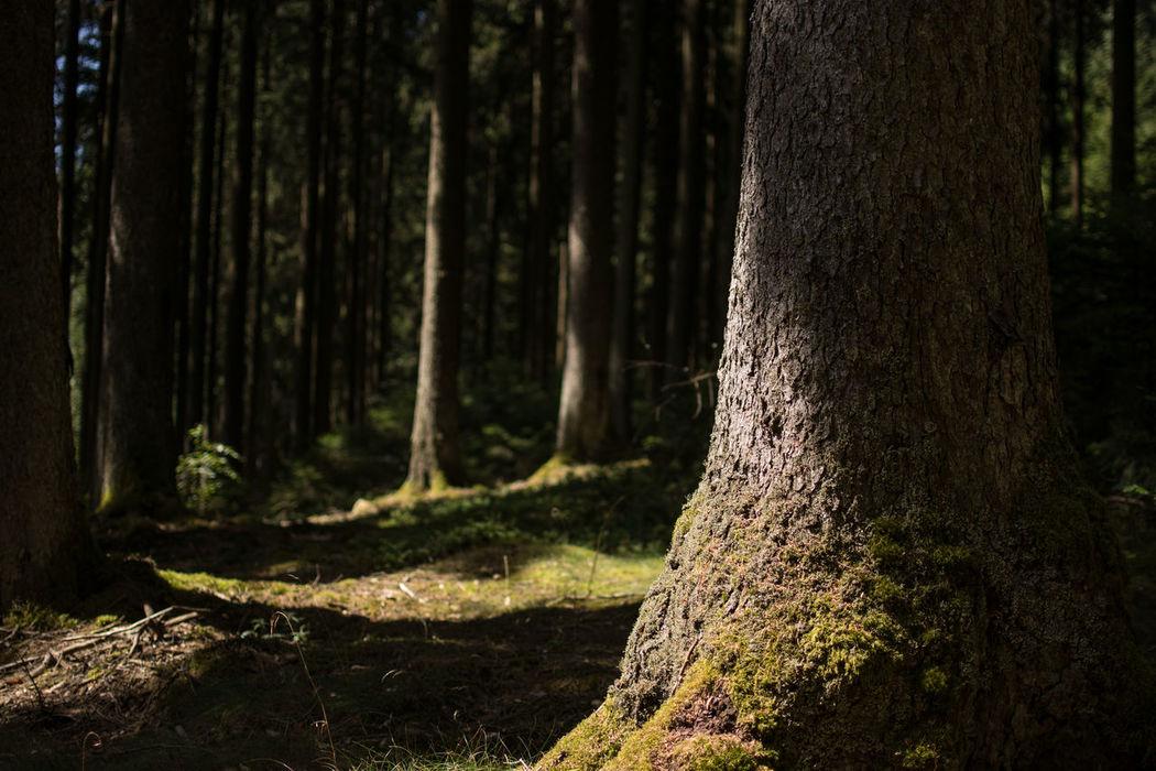 Saar-Hunsrück-Steig, Traumschleife Felsenweg Forest Hiking Hikingadventures Mystery Non-urban Scene Outdoors Saar-Hunsrück-Steig Traumschleife Tree Trunk Trees Wanderlust Wandern Wood Wood - Material WoodLand