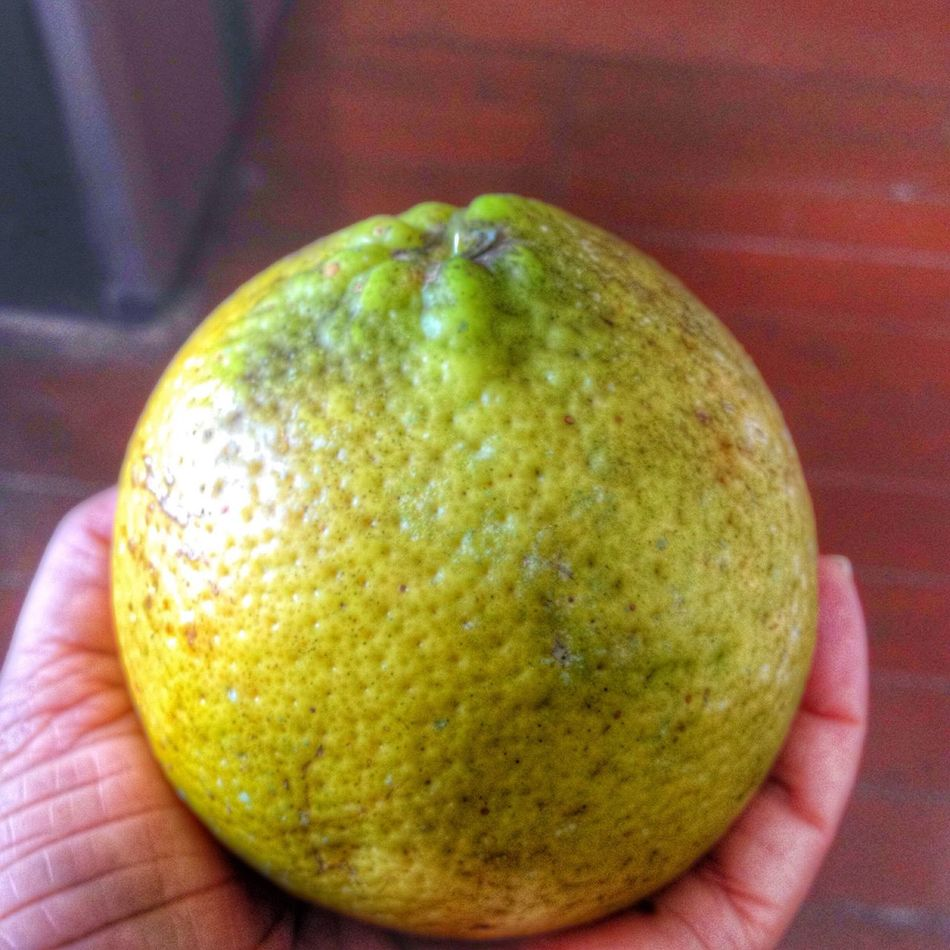Having my first Tangelo on February 3, 2015 in Mendez Village, Siparia, Trinidad. #LifeInAVillage #Citrus #Tangelo Tangelo, is a citrus fruit hybrid of tangerine and pomelo or grapefruit. Sometimes referred to as honeybells, tangelos are the size of an adult fist, have a tangerine taste.