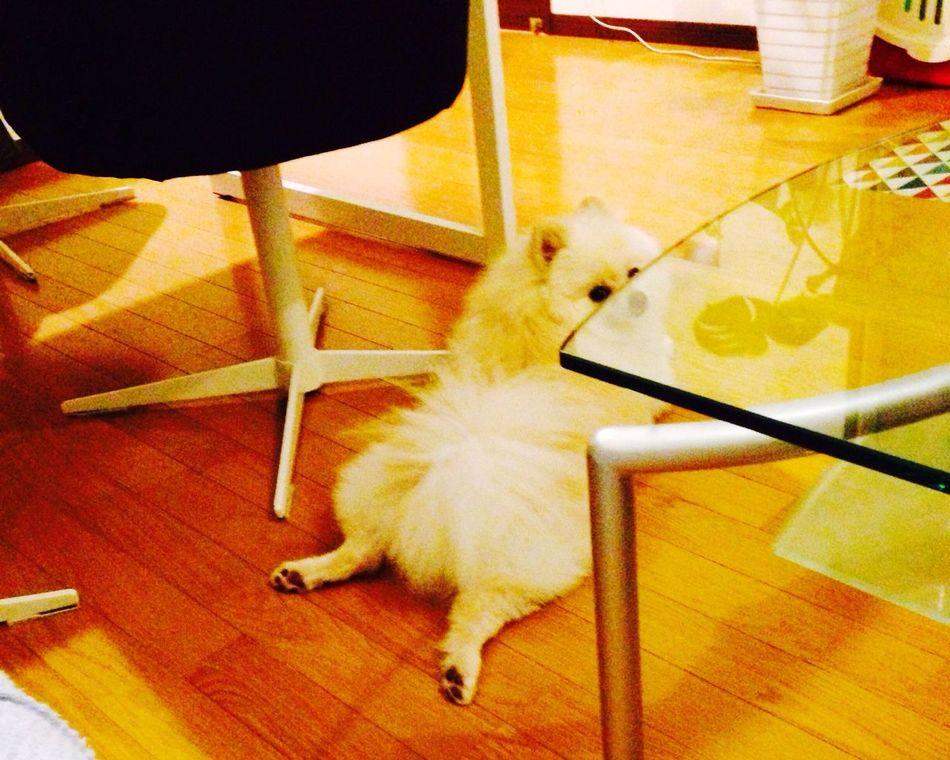 Pomeranian I Love My Dog Korosuke Dog