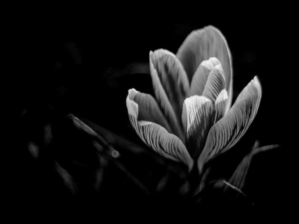 Beauty In Nature Black Background Blooming Close-up Crocus Day Flower Flower Head Fragility Freshness Growth Nature No People Outdoors Petal Plant Selective Focus