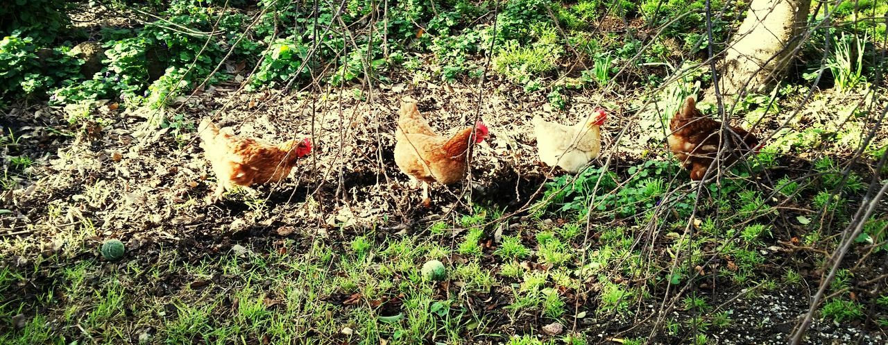 chicken - bird, livestock, domestic animals, young bird, bird, hen, animal themes, nature, young animal, field, no people, outdoors, animal family, agriculture, grass, day, growth, rooster, togetherness