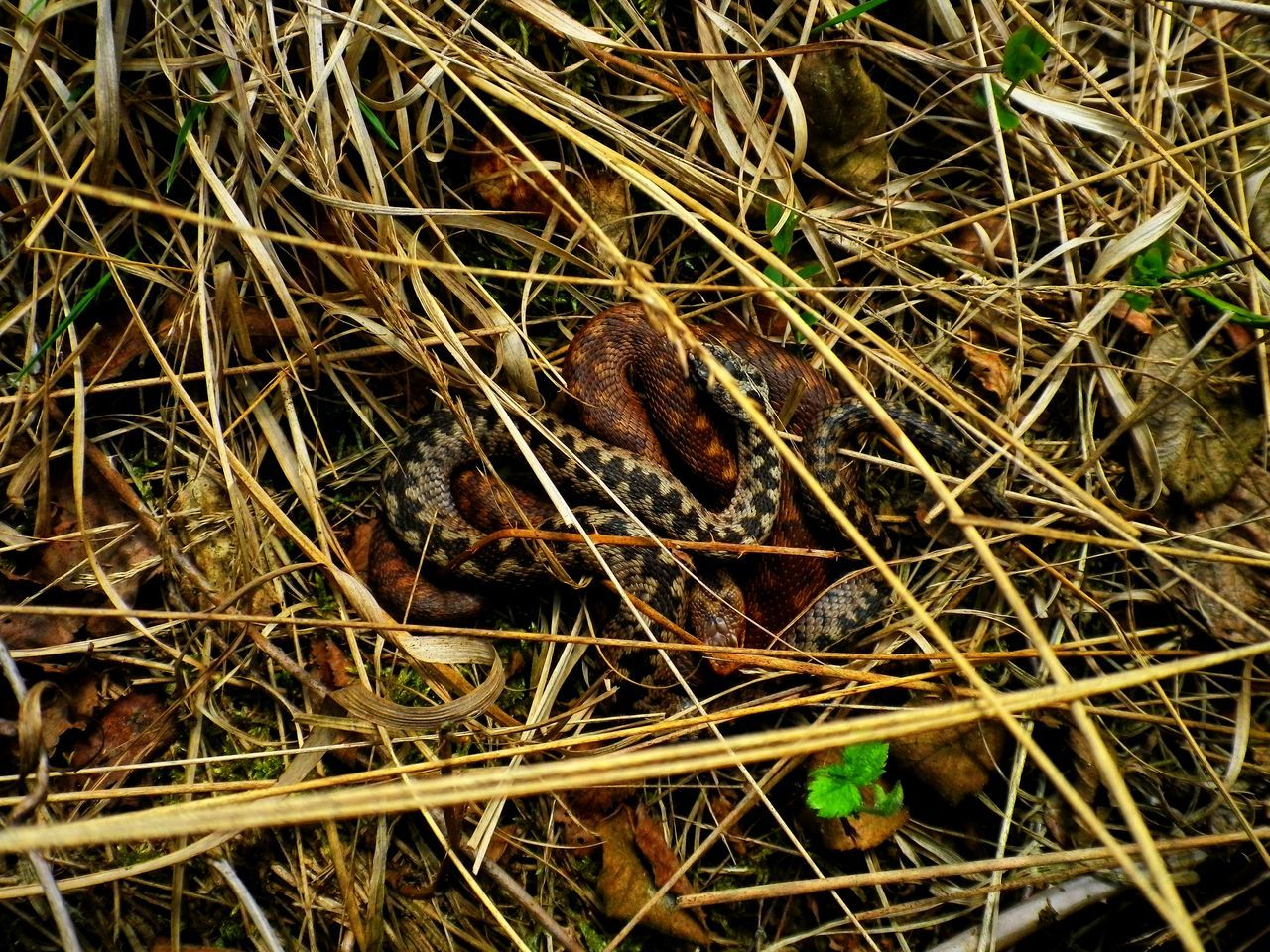 Adder Adders Animal Themes Animal Wildlife Animals In The Wild Day Grass Hedgehog Mammal Nature No People One Animal Outdoors Snakes Wildlife