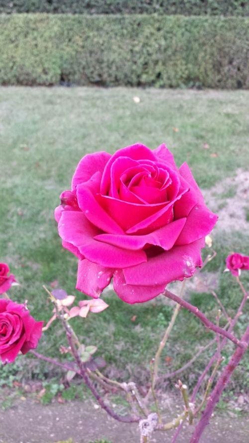Roses Rose D'automne Autumn Colors