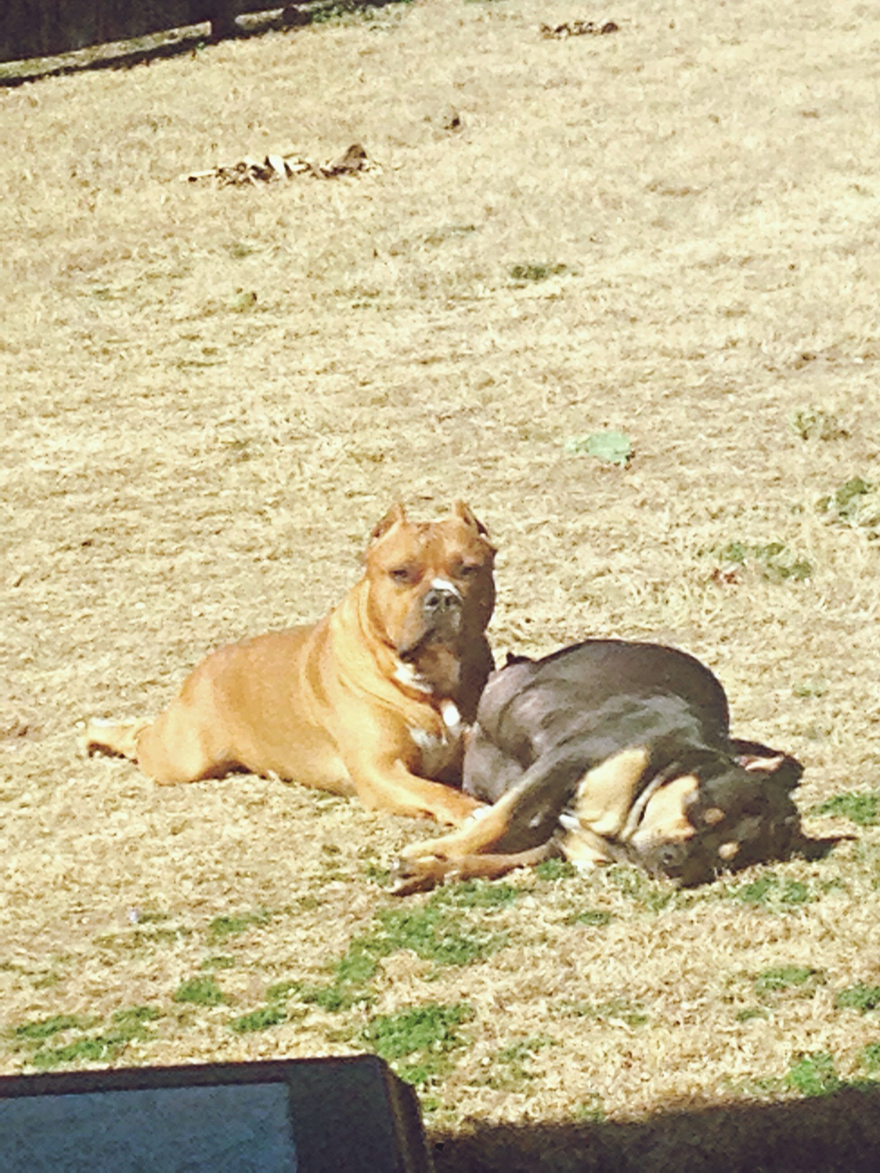 animal themes, mammal, domestic animals, pets, one animal, relaxation, grass, lying down, dog, two animals, resting, field, sitting, full length, day, outdoors, relaxing, side view, no people, nature