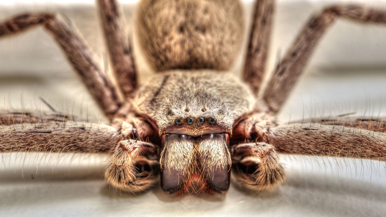 A huntsman spider I found in my bathroom, it was about the size of my hand so I had to get a shot, with flash of course. She didn't seem to mind, and even struck a pose. Arachnid Arachnophobia Close-up Creepy Crawly Huntsman HuntsmanSpider One Animal Scary Scary Spider Selective Focus Spider Spiders Showcase March