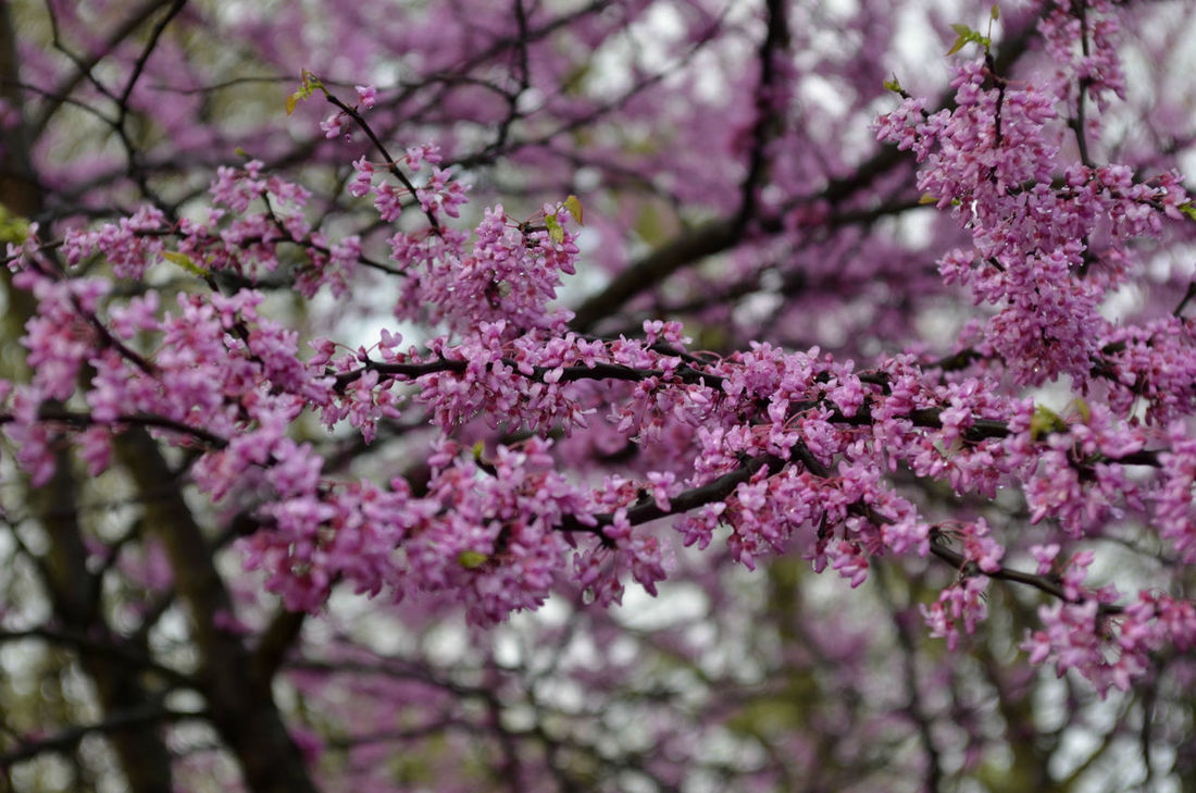 pink blossoms on tree branches in Spring April Beauty In Nature Beauty In Nature Blooming Blossom Tree Blossoming  Blossoming In Spring Blossoms  Branch Branches Day Flower Fragility Freshness Growth Morning Light Nature Nature No People Pink Color Pink Flowers Springtime Tree Tree