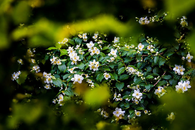 Across The Hedge Blooming Botany Flower Growing Hedgerow Live Fence Nature Selective Focus