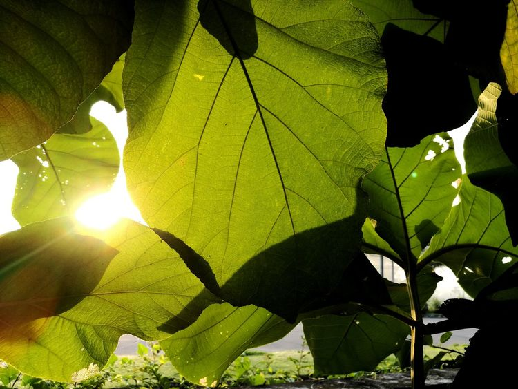 Leaf Sunlight Green Color Beauty In Nature Sunbeam Shadow Of Leaves