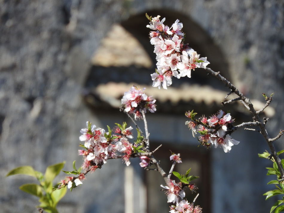 Showcase March Fragility Growth Petal Nature Flower Early Spring Growing Flower Blossom Botany Ruins Of A Past Branch In Bloom Early Spring Impression Springtime Pink Flower Early Spring 2016 Cherry Blossom Early Spring, With Plum Flowers Blossoming  New Life Ruins Blossom Beauty In Nature Blooming