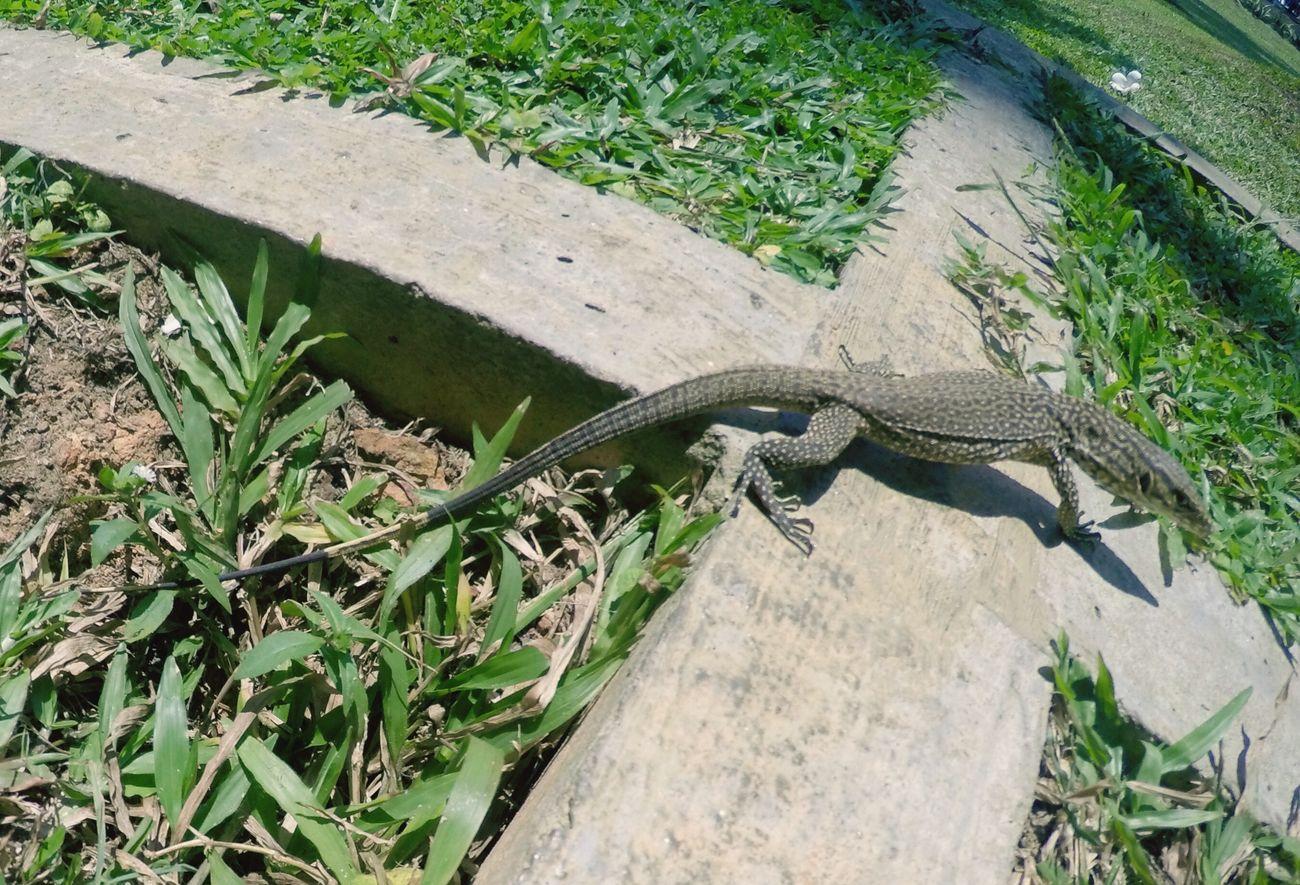 Varan in SriLanka