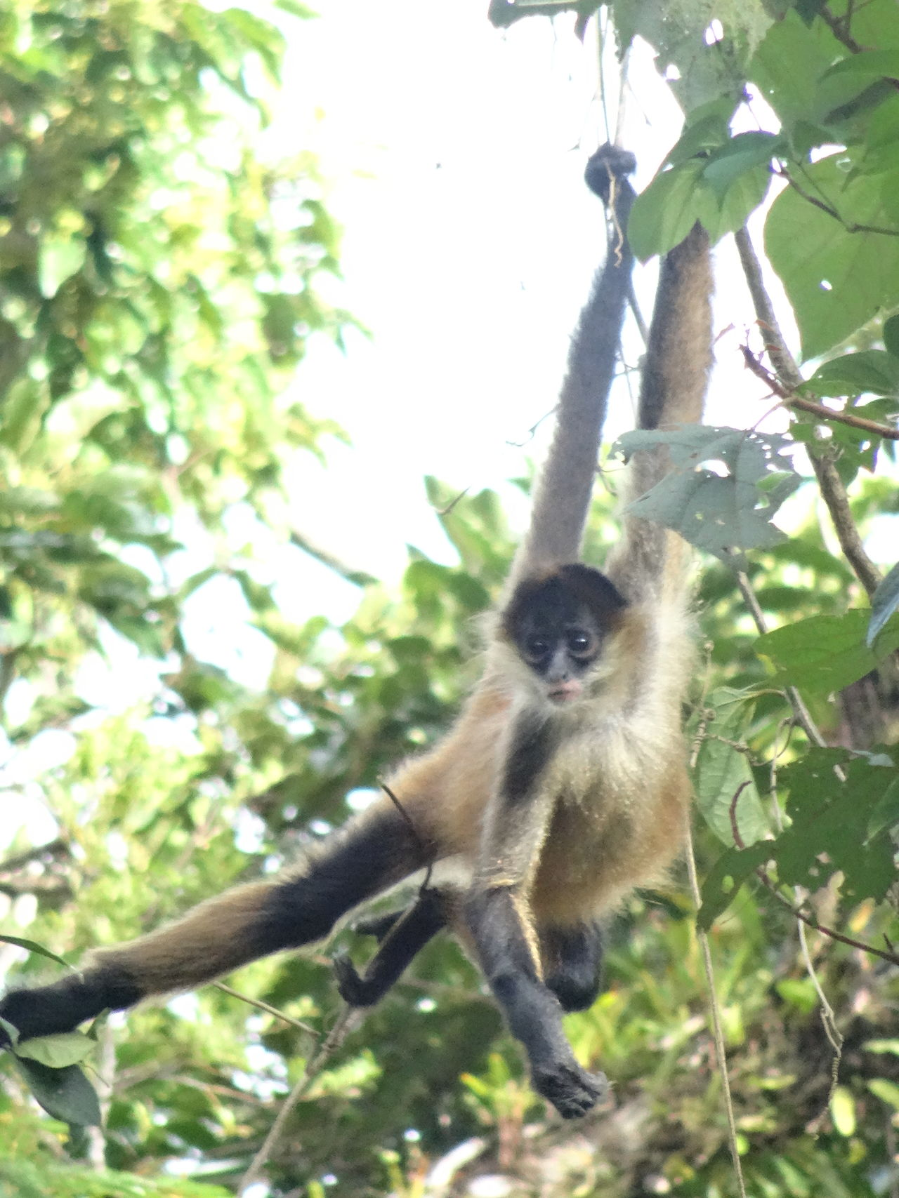 Young monkey in a tree Animal Themes Animals In The Wild Branch Costa Rica Day Hanging Hanging Around Hanging Out Mammal Monkey Nature No People One Animal Outdoors Playing Sitting Tree Wildlife