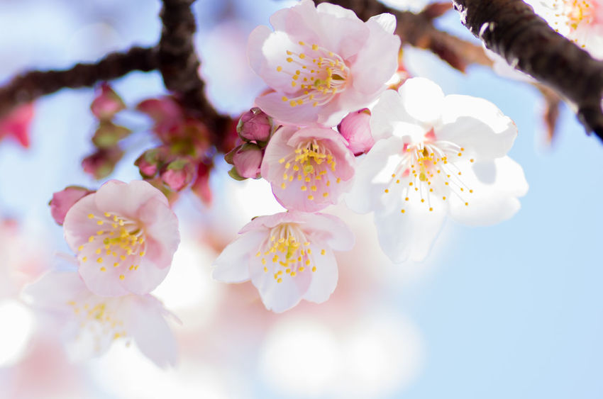Beauty In Nature Blooming Branch Close-up Day Flower Flower Head Fragility Freshness Growth Nature No People Outdoors Petal Pink Color Sky Springtime Tree