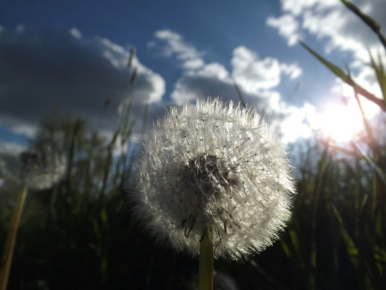 flower, growth, dandelion, nature, fragility, plant, softness, uncultivated, no people, beauty in nature, close-up, outdoors, day, flower head, freshness, sky