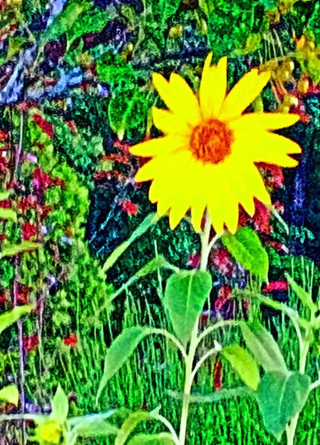 Sunflower First Eyeem Photo