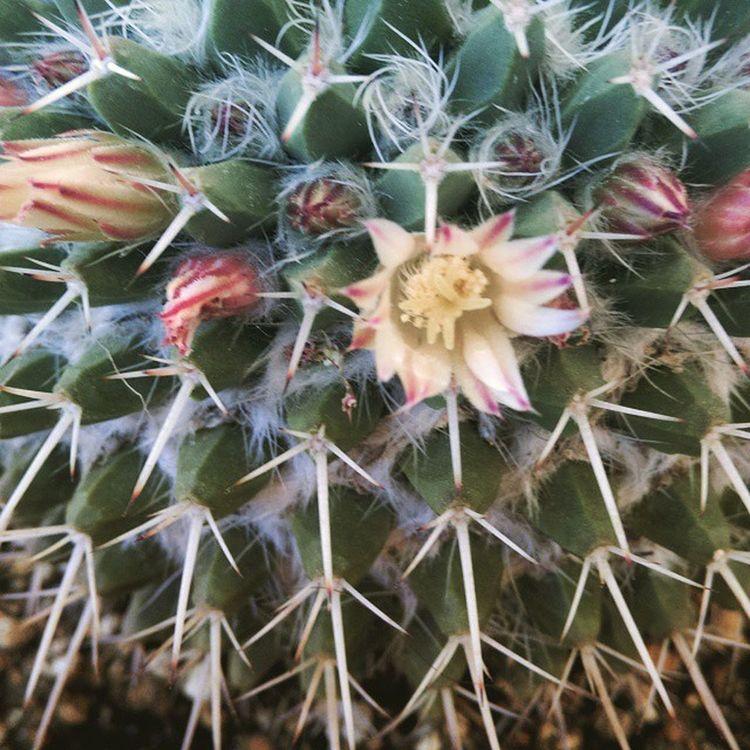 Sana Aşığım Antalya Turkey Kaktüs cactus flowers