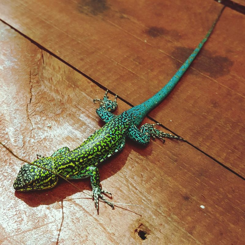 Lizard Nature Lizard Nature Green Calipso
