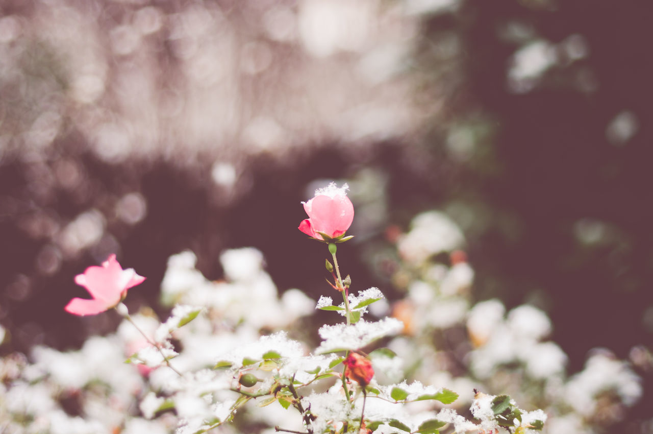 Beautiful stock photos of rosen, Beauty In Nature, Close-Up, Day, Flower