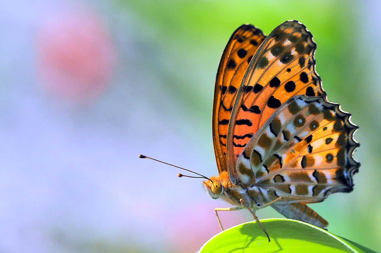 insect, animals in the wild, butterfly - insect, animal themes, one animal, animal wildlife, close-up, outdoors, butterfly, focus on foreground, no people, day, animal markings, nature, perching, beauty in nature, fragility, spread wings, freshness