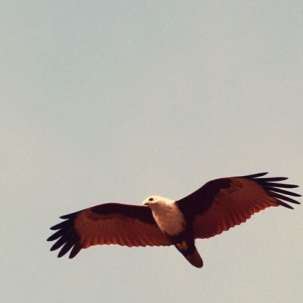 Flying high..... Eagle Flying Bird Spread Wings Nature Outdoors Day No People The Way Forward Beach Random Shots Kerala Gods Own Country Hope Freshness Sky Beauty In Nature Nature Sunlight Birdphotography Birdwatching On Beach Hawks Hawk Flying Hawk Eye