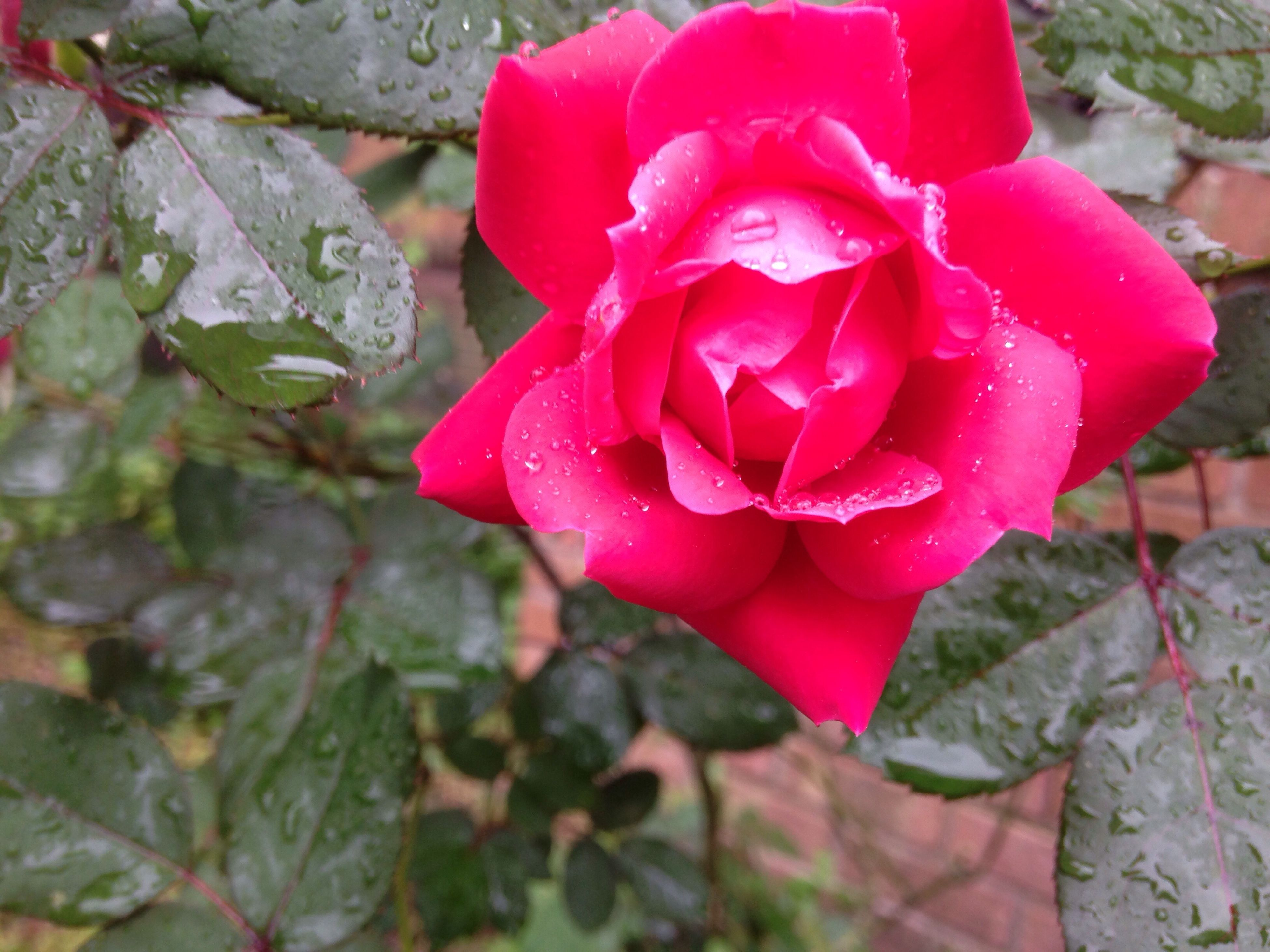 nature, wet, flower, petal, growth, beauty in nature, rain, water, drop, fragility, plant, freshness, rose - flower, flower head, pink color, rainy season, red, outdoors, close-up, leaf, no people, day, raindrop