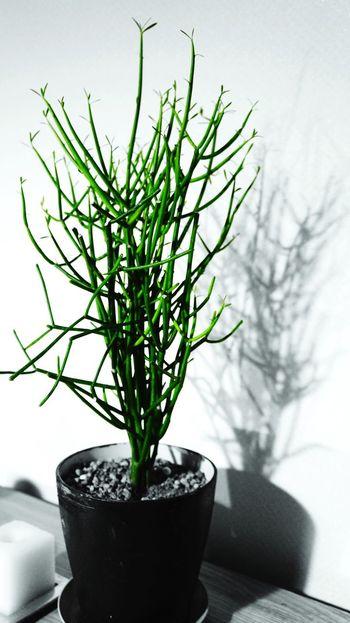 Eyeem Plants Euphorbia Tirucalli Euphorbia Night Plants Night Nightphotography Green Black And Green Shadows Shadow