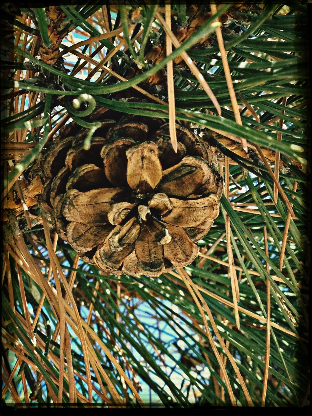 Pine cone EyeEm Nature Lover