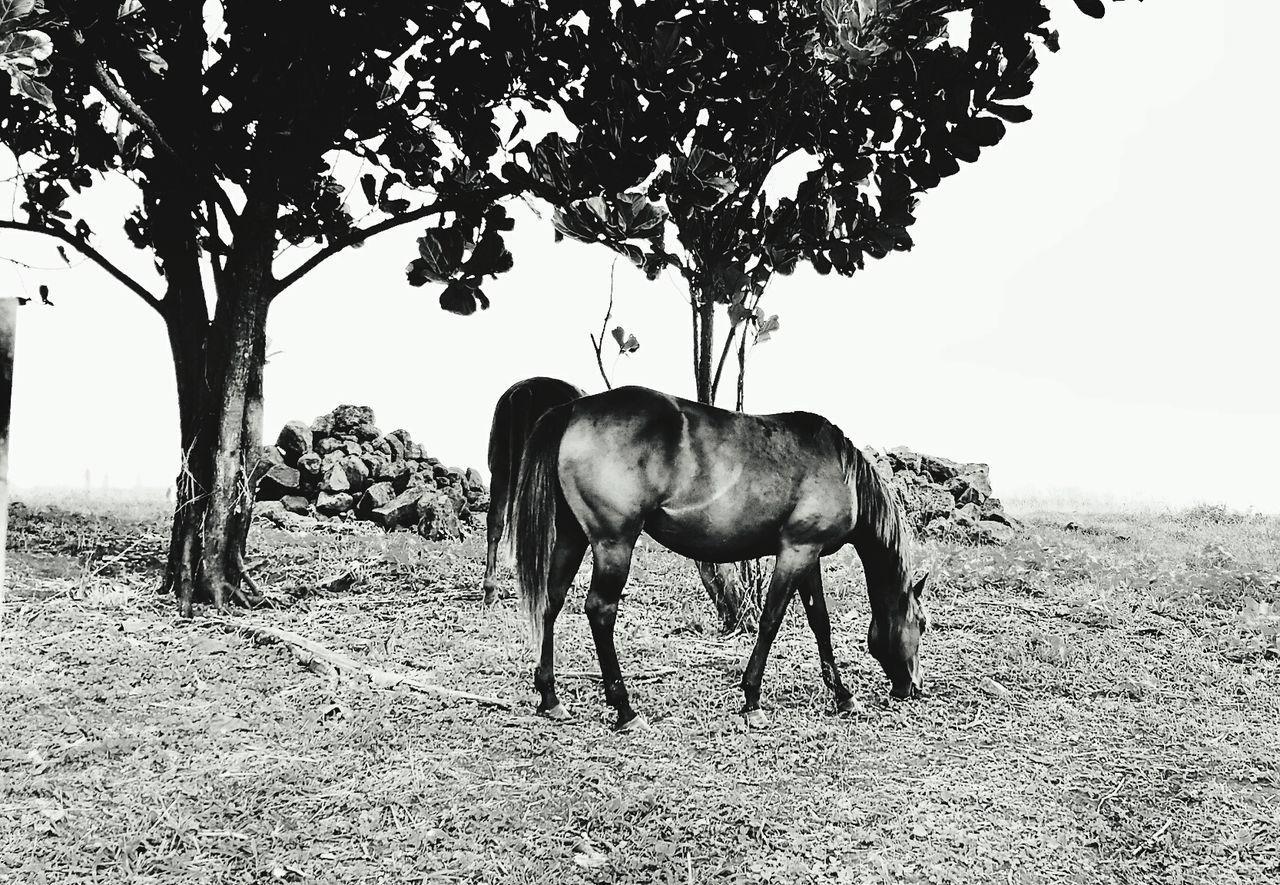 Black And White Horse Horse Pasture Hawaii Kauai♡ Open Edit Scenery Nature