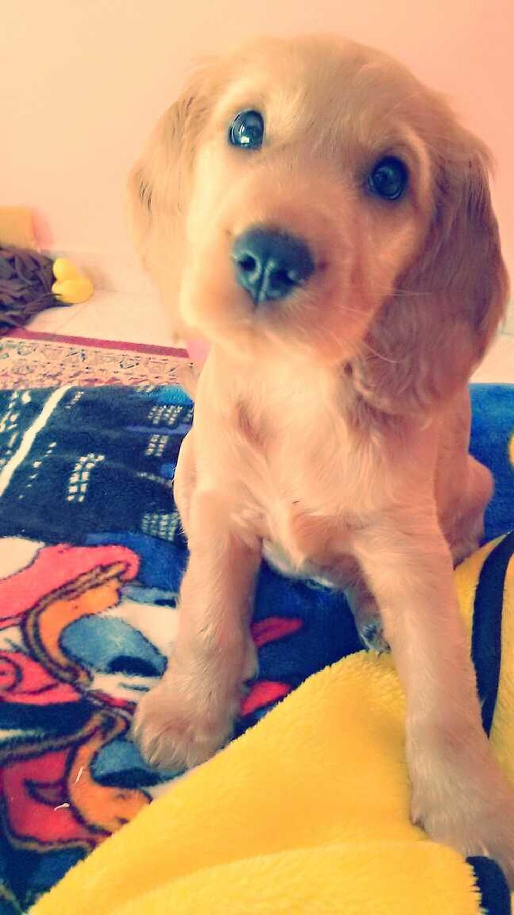 Hello World My Little Puppy Ckoker Spaniel Dog Love <3
