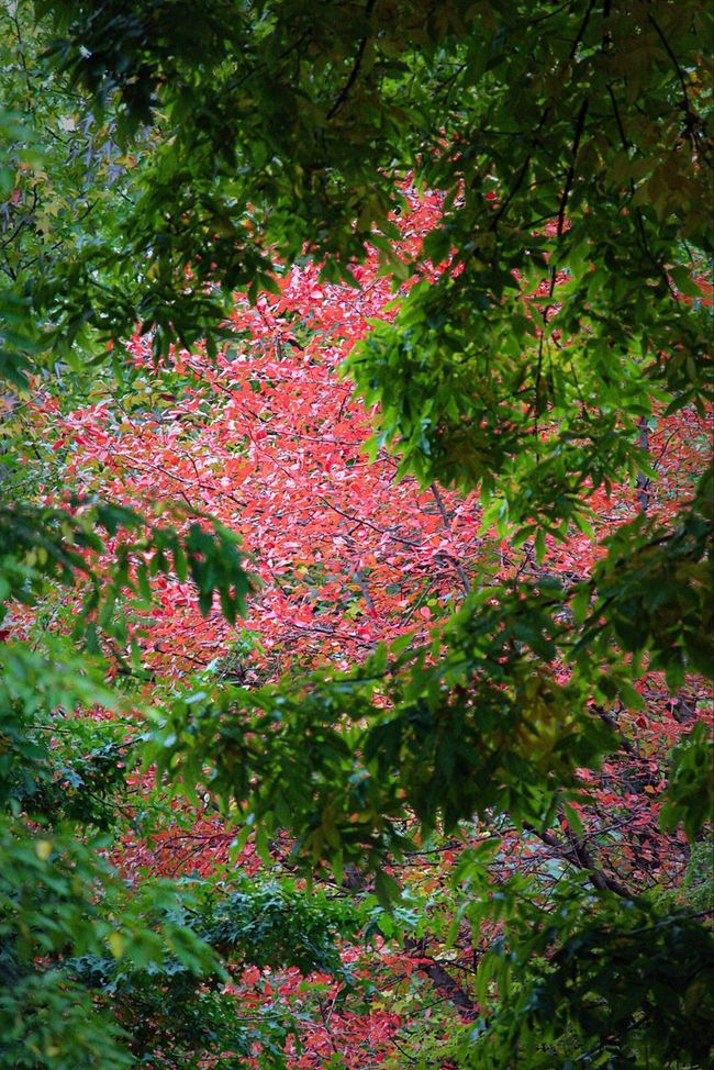 Color Leaf Nature Autumn Beauty In Nature Foliage Outdoors Central Park Central Park - NYC New York Tree