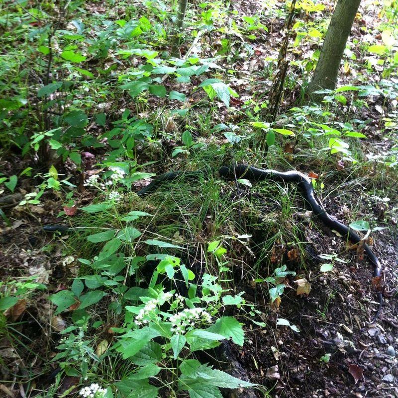 Black Snake Snake