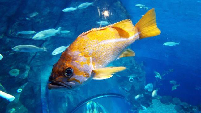Watertank Fish Goldfish