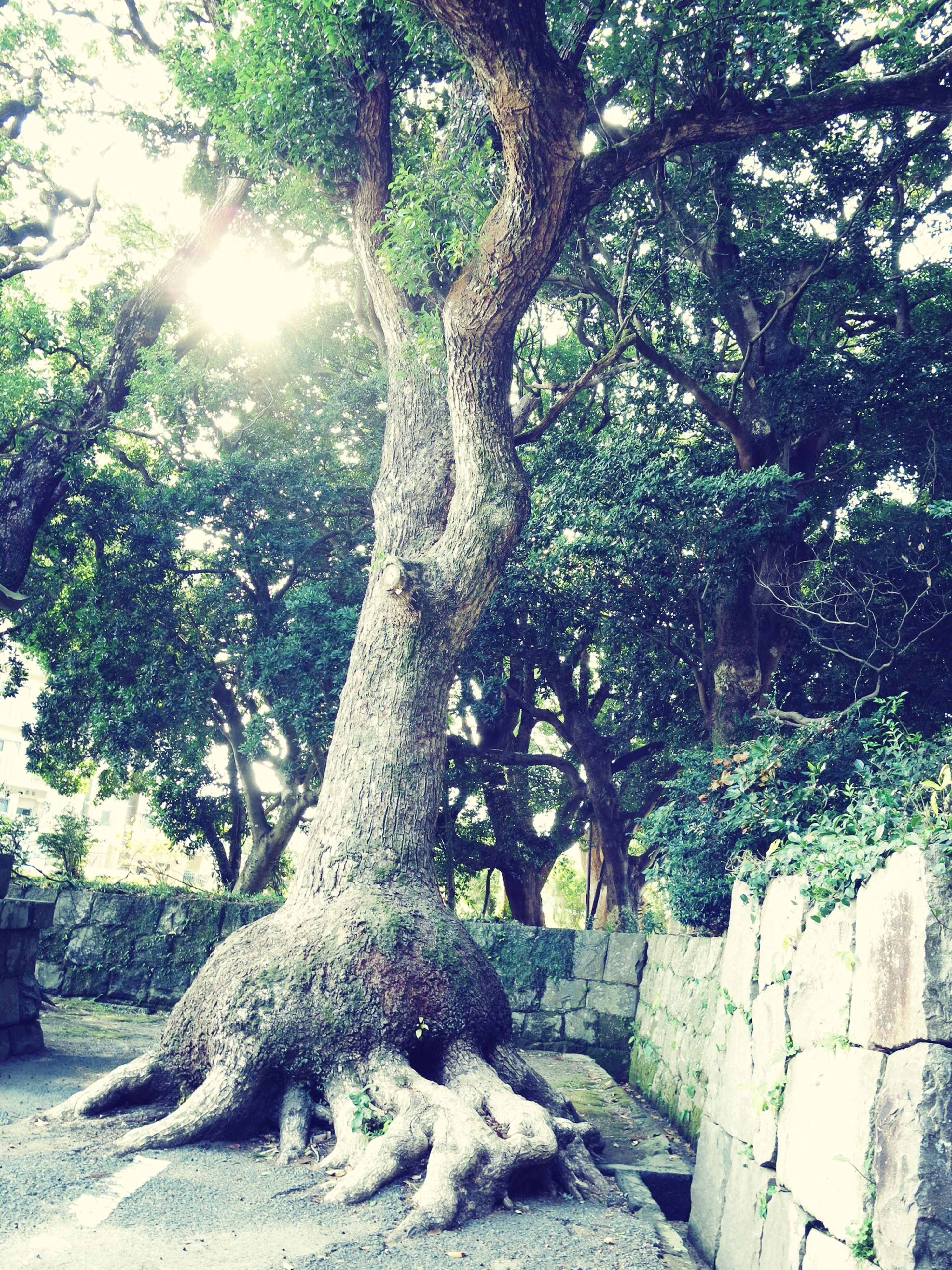 tree, sunlight, growth, tree trunk, low angle view, branch, built structure, architecture, nature, building exterior, day, shadow, sunny, no people, outdoors, tranquility, sky, sunbeam, stone material, green color