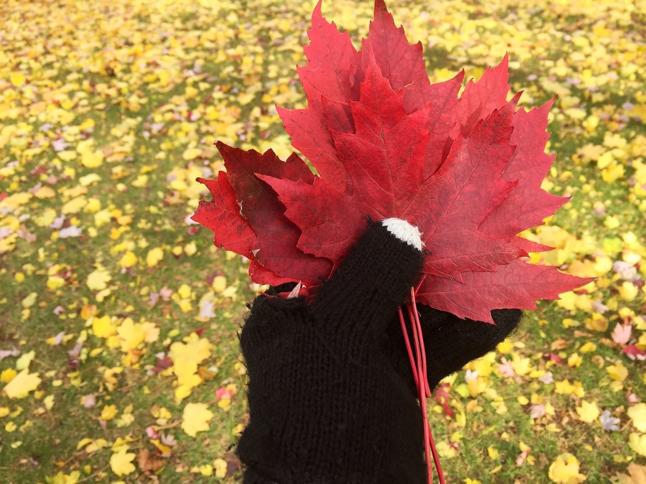 leaf, autumn, nature, one person, change, day, outdoors, red, real people, maple leaf, beauty in nature, lifestyles, growth, human hand, fragility, close-up, freshness, maple, adult, people