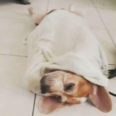 淋濕了就是要洗澡包起來,不然要幹嘛 Mymilinbaby Beagle