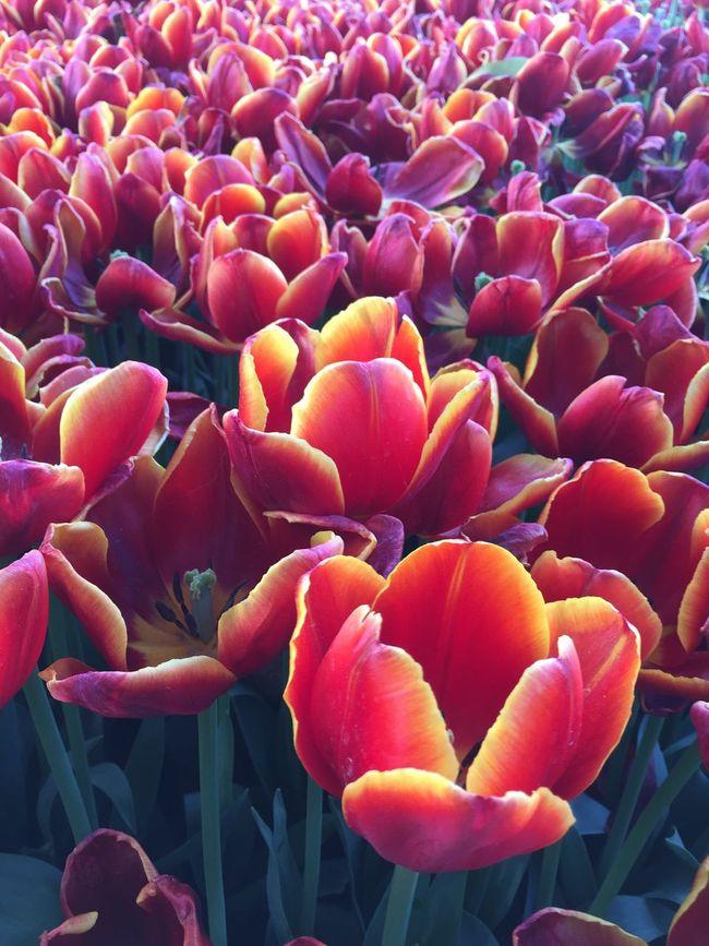 Flowers Flowerporn Flowers,Plants & Garden Flowers, Nature And Beauty Flower#garden#nature#ecuador#santodomingoecuador#eyeEmfollowers#iphoneonly#nofiltrer#macro_garden#pretty#beautiful#followme#sho Flower Photography Tulip