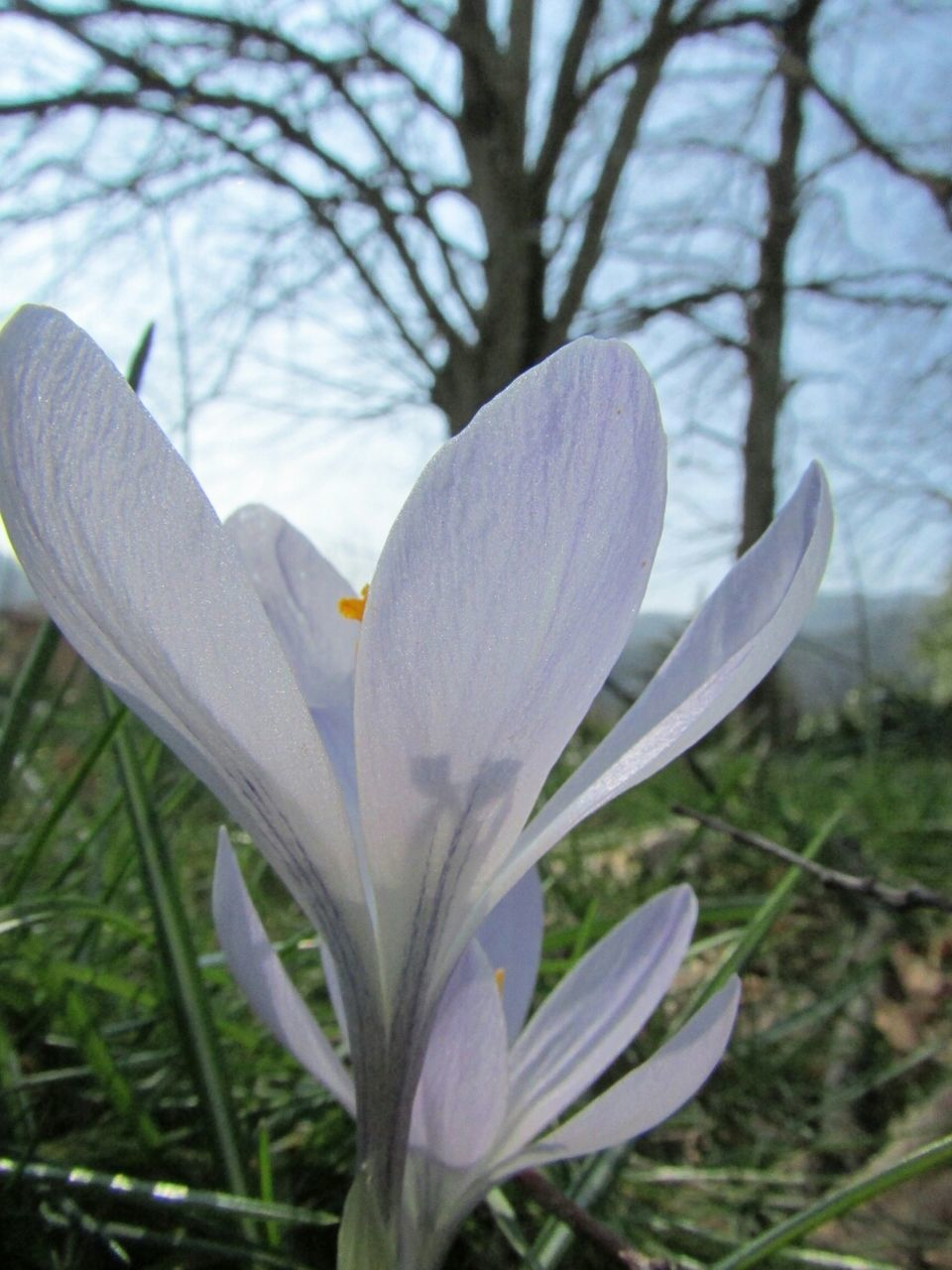 flower, petal, growth, nature, beauty in nature, white color, freshness, fragility, day, outdoors, plant, no people, close-up, flower head, blooming, tree, crocus
