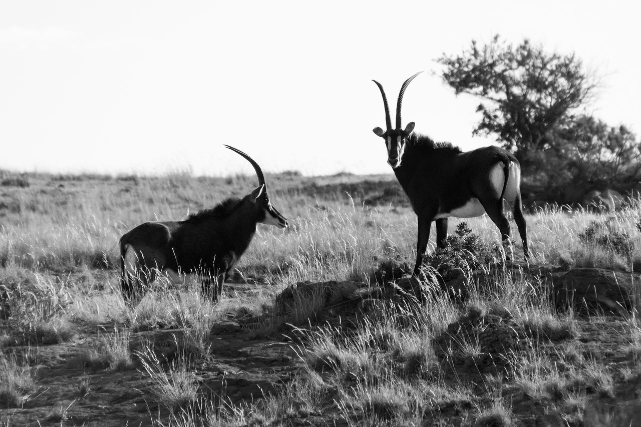 My girlfriend and I took a day and went to the Willem Pretorius Game Reserve in Ventersburg, South Africa where I created this photograph of two Sable Antelope. Animal Themes Animal Wildlife Animals In The Wild Beauty In Nature Grass Mammal Nature No People Outdoors Sable Antelope Swartwitpens Wildlife & Nature EyeEmNewHere