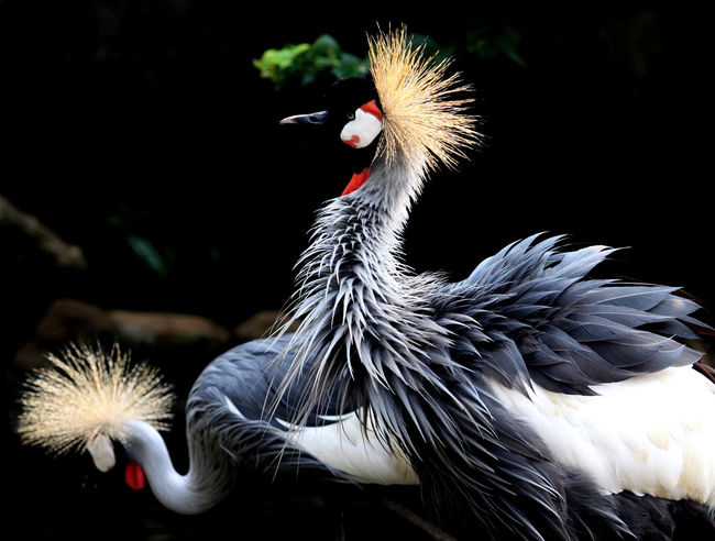 Crowned Crane Animal Body Part Animal Head  Animal Photography Animal Themes Animals In The Wild Beauty Of Decay Bird Crowned Crane Feathers No People Outdoors Two Animals