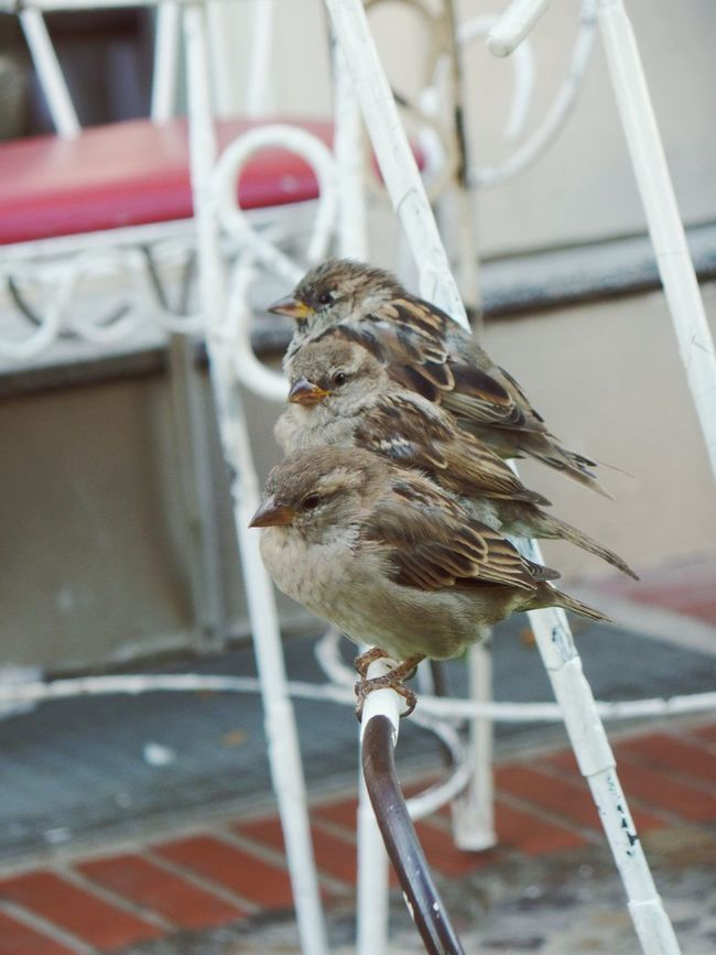 Sparrow Sparrows Birds Of EyeEm  Birds🐦⛅ Bird Bird Photography Birds_collection Nature In The City Taking Photos Enjoying Life