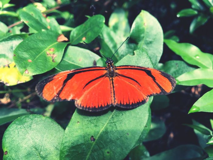 As belas cores da natureza Leaf Insect Animals In The Wild Butterfly - Insect Animal Themes One Animal Nature Butterfly Beauty In Nature Green Color Plant Fragility No People