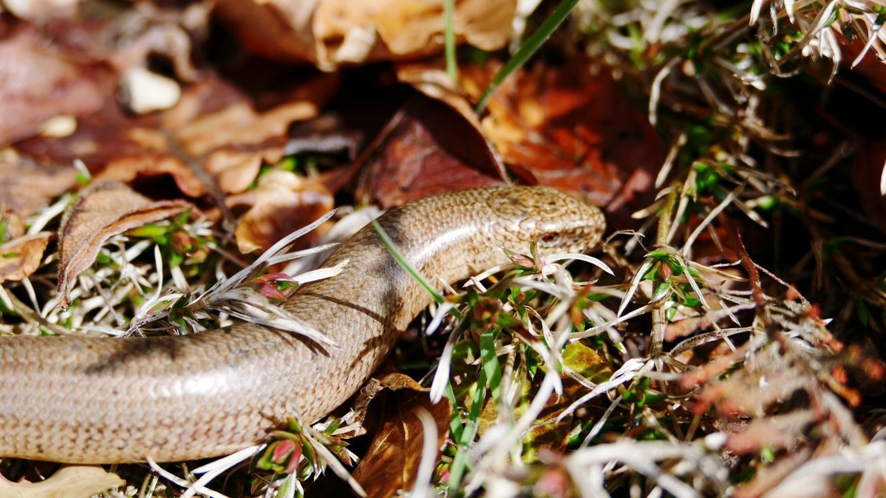 'Slow Worm' Blindscleiche (Anguis fragilis) Leaf Reptile Animal Themes Outdoors Close-up No People Nature Day Beauty In Nature Animals In The Wild Anguis Fragilis Blindschleiche Slow Worm