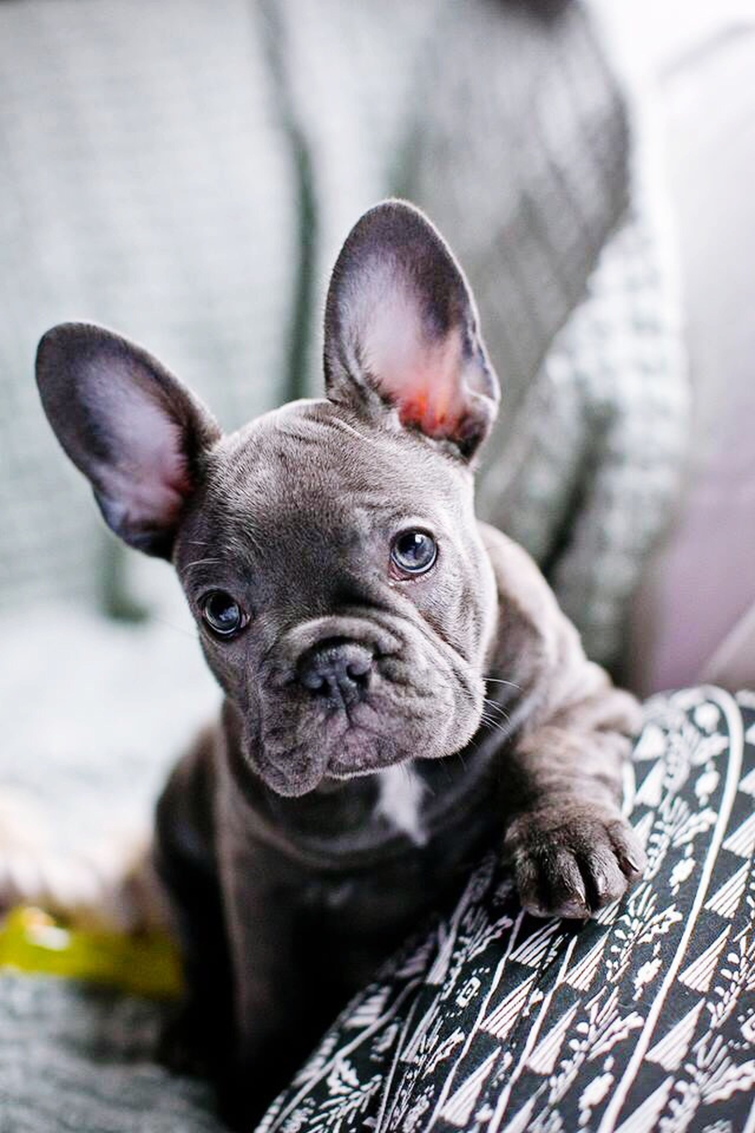 animal themes, one animal, pets, indoors, focus on foreground, domestic animals, portrait, looking at camera, dog, close-up, mammal, animal head, home interior, relaxation, black color, bed, animal body part, no people, lying down, day